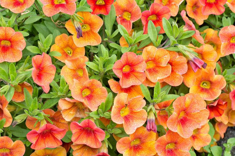Unknown Orange Blossoms