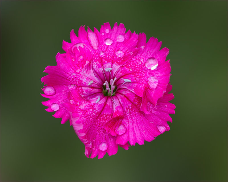 Pink Carnation On Green