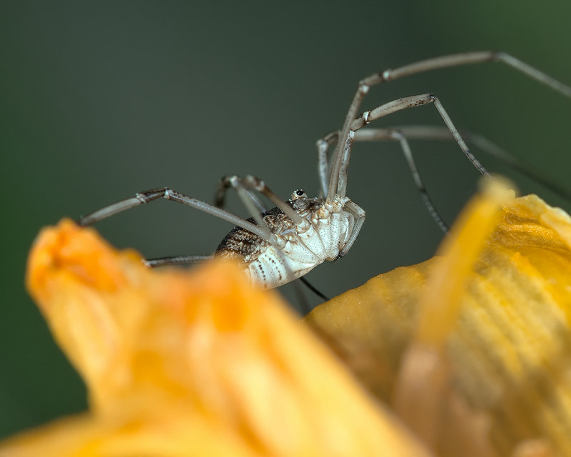 Daddy Long Legs - Up Close