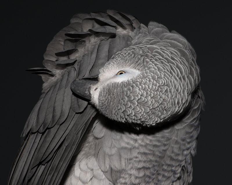 Preening Parrot