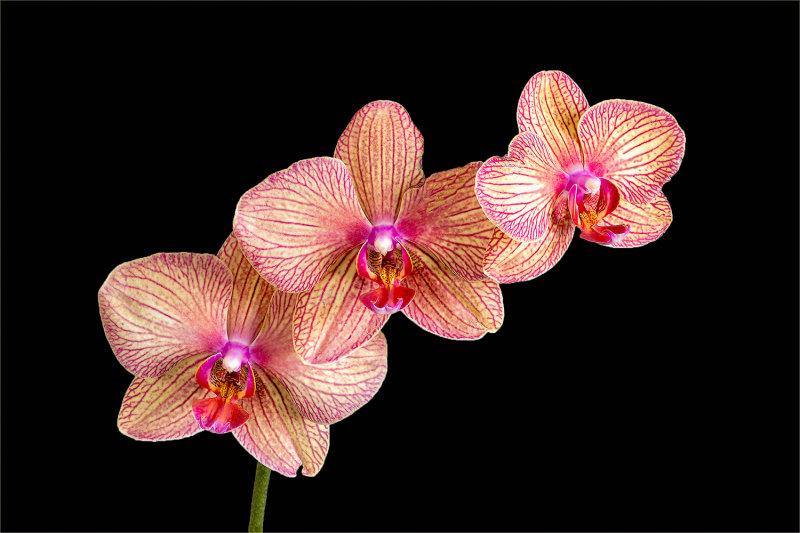 Gold & Purple Orchids