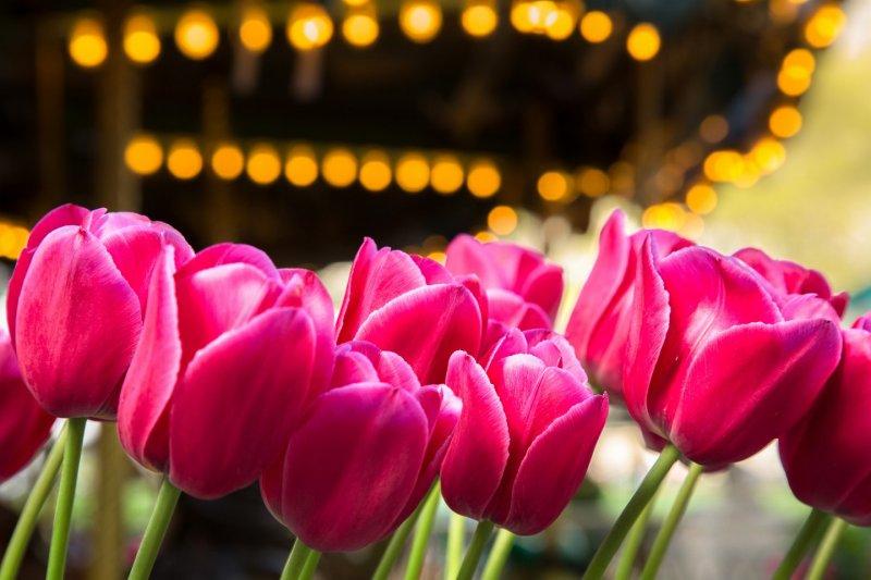 Carrousel & Tulip