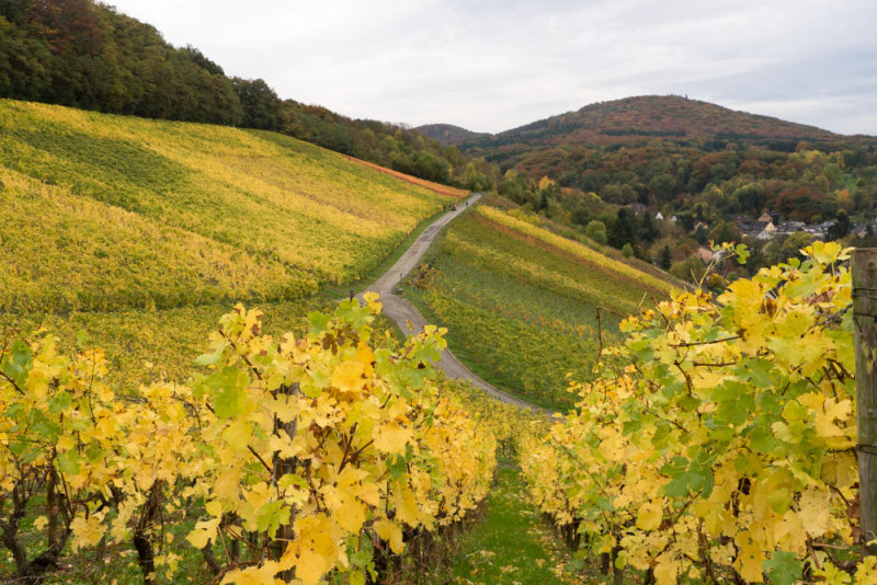 Autumn in the vineyard of Oberdollendorf