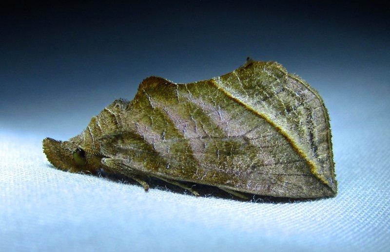 Calyptra canadensis - 8546 - Meadow Rue Owlet Moth
