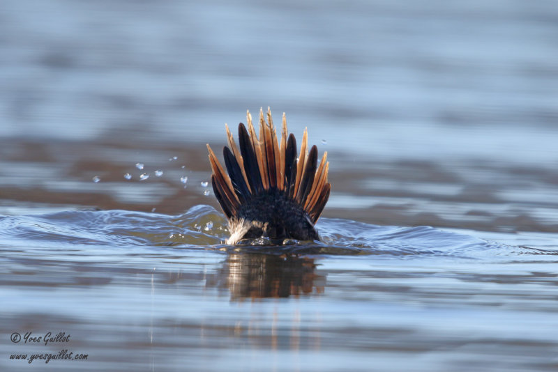 Érismature rousse - plumage internuptial #5512.jpg