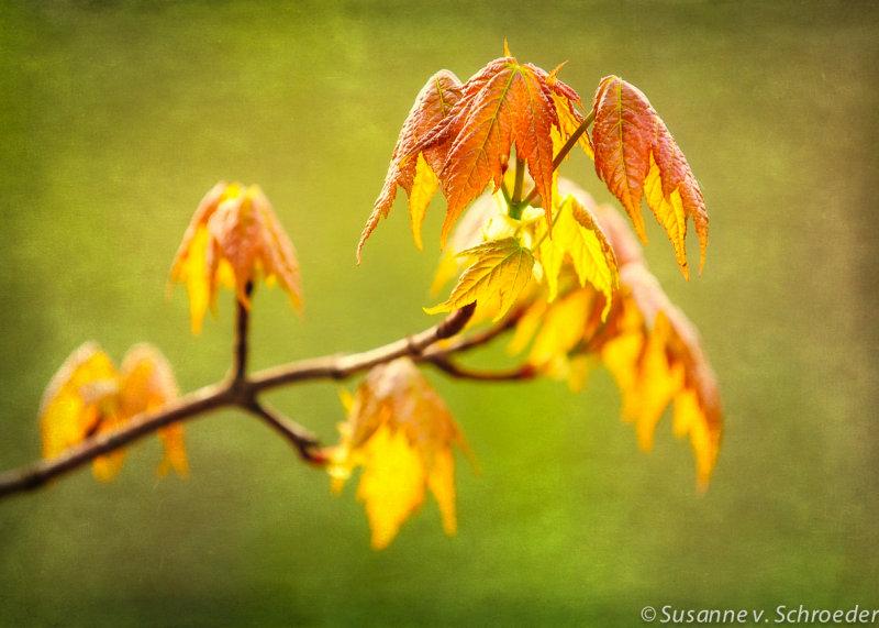 Maple Leaf in spring