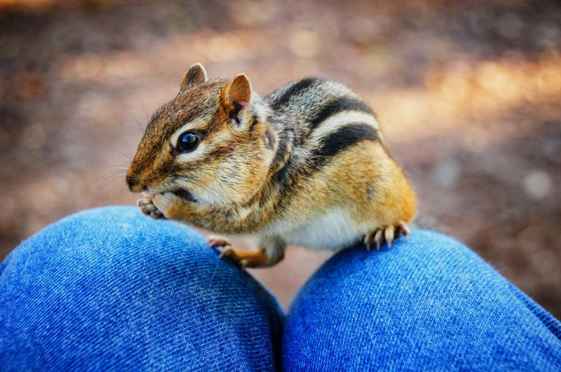 friendly chipmunk 1
