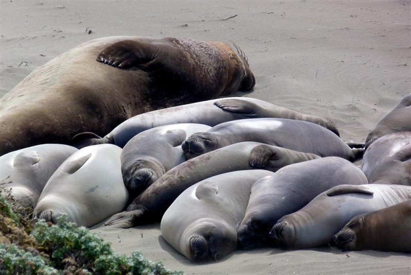 167 Piedras Blancas Elephant Seal Rookery Pacific Coast Highway.jpg