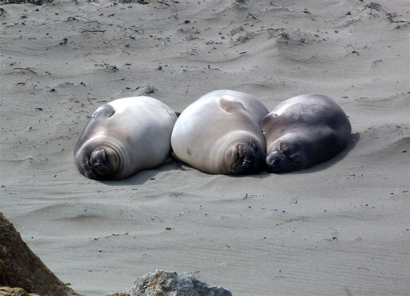 170 Piedras Blancas Elephant Seal Rookery Pacific Coast Highway.jpg