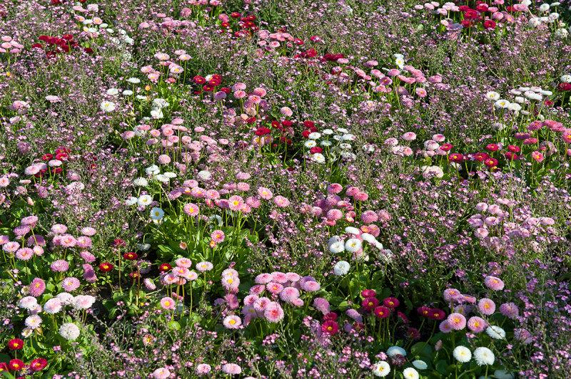 Multicoloured Daisies