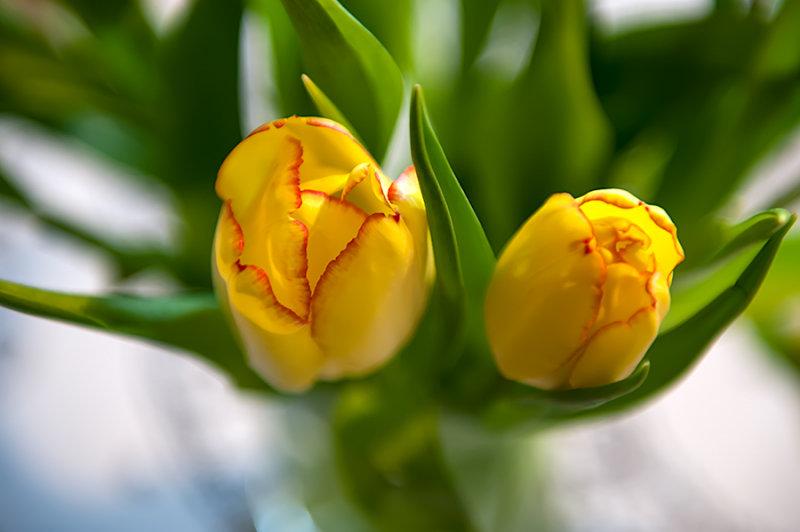 Yellow Duet