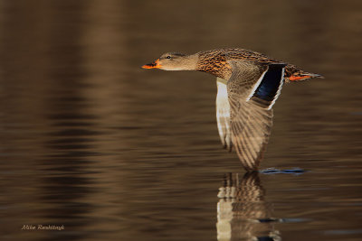 Leaving Her Mark - Mallard Duck