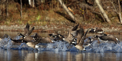 Canada Geese Train For the Olympics!