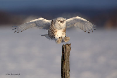 Snowy Owl 8-Point Landing
