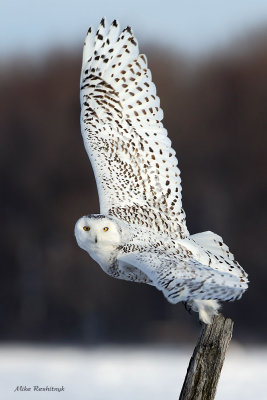 Give Me A High Five - Snowy Owl