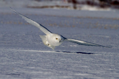 White Snow Ghost - Male Snowy Owl