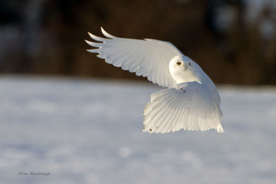 Late Afternoon Departure - Male Snowy Owl