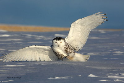 Coming In For a Rough Landing - Snowy Owl