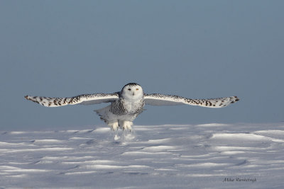 Crisp Cold Day Takeoff - Snowy Owl