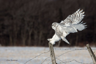 Ultimate Contact - Snowy Owl