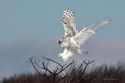 Branch Connection Established - Snowy Owl