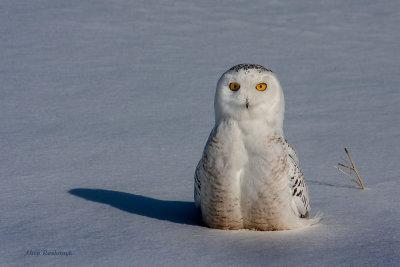 Where Are My Feet? - Snowy Owl