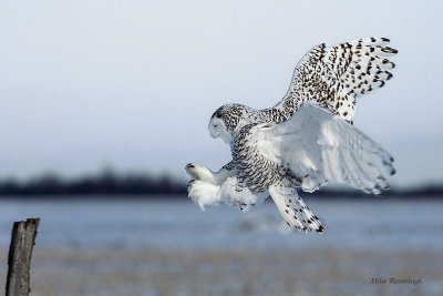 I Hope  I Make It - Snowy Owl