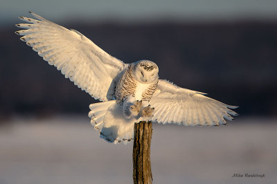 Total Concentration - Snowy Owl