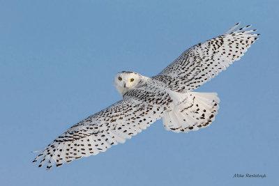 Get Off My Back - Snowy Owl