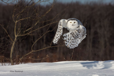 Up And At 'Em - Snowy Owl