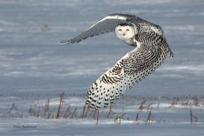 New Years Baby - Snowy Owl