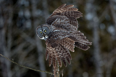 One Great Feather Duster - Great Grey Owl