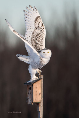 This Condo Is Too Small For Me! - Snowy Owl