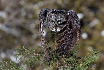Feather Fan - Great Grey Owl