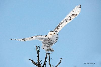 Bright Morning Light Delight - Snowy Owl