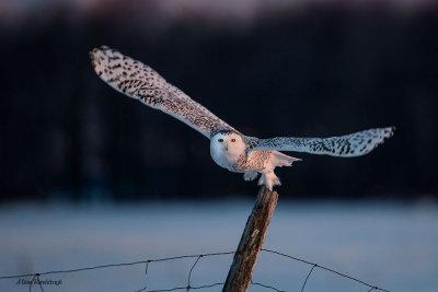 Crack Of Dawn - Snowy Owl