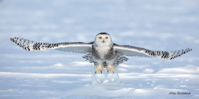 Armed and Dangerous - Snowy Owl