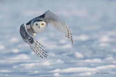 Winged Wonder - Snowy Owl