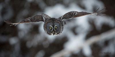 Great Grey Owl Faceoff