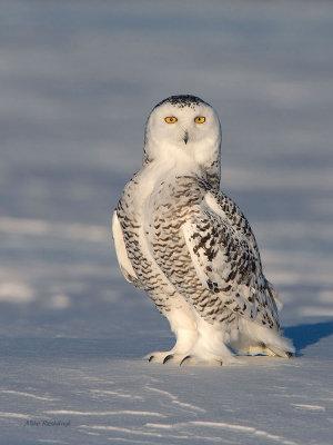 Curious Kate - Snowy Owl