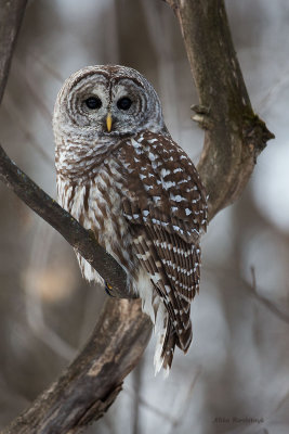 I'm Just Fitting In - Barred Owl