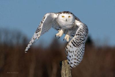 Snowy Owl  Leaving Its Fencepost