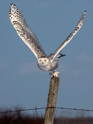 Snowy Owl - Post Partum