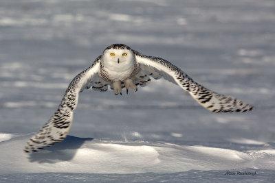 Snowy Owl - In Your Face Big Boy!