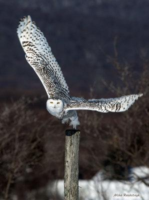 Snowy Owl - Flight Time