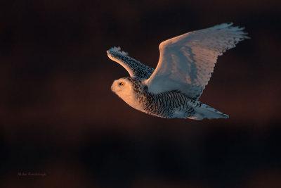 Snowy Owl - Against the Light