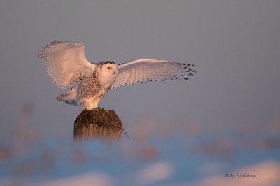 Snowy Owl - Taking In The Setting Sun