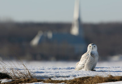 Snowy Owl - I'm Late For Mass!