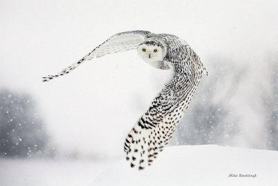 Snowy Owl - Snow-bound