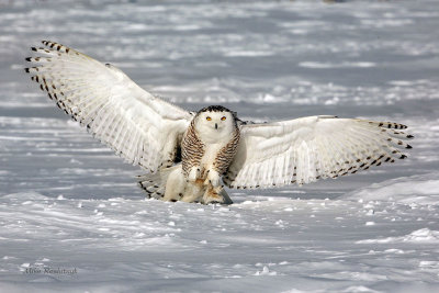 Snowy Owl - Showing Off My Goodies